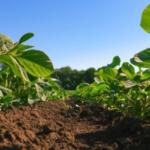 soybean seedlings